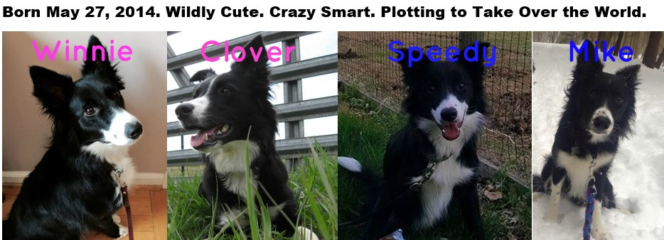 puppygate litter, border collie puppies, champion of my heart, copyright roxanne hawn