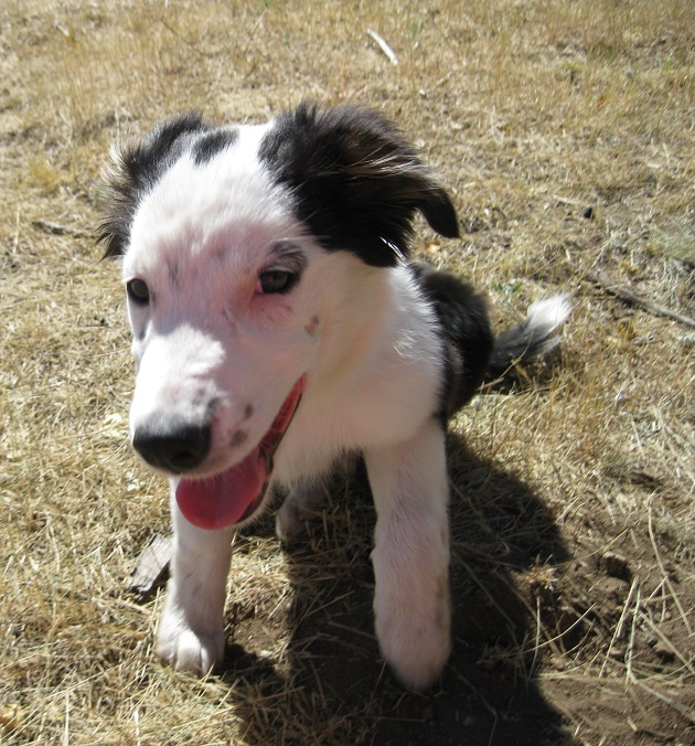 border collie puppy, tori, copyright, champion of my heart, roxanne hawn