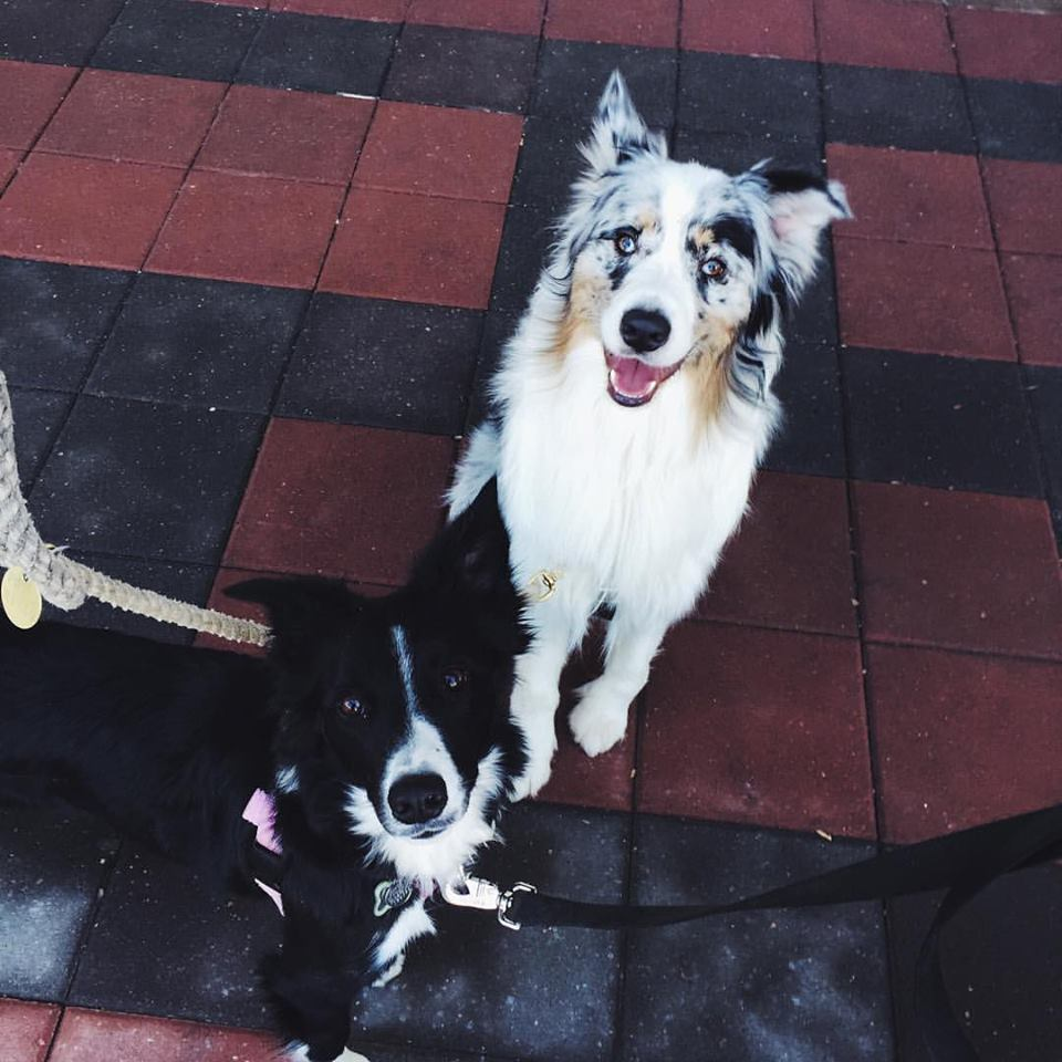 border collie and australian shepherd, copyright champion of my heart / roxanne hawn
