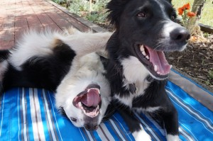 smiling border collies, copyright champion of my heart / roxanne hawn
