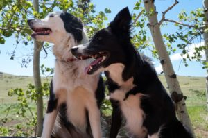 neutropenia in dogs - clover seems fine - champion of my heart dog blog