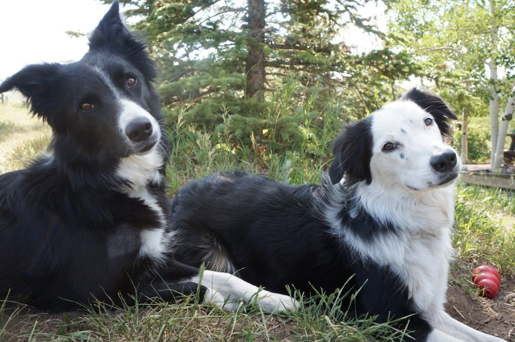 dog blog champion of my heart canine heroines clover and tori