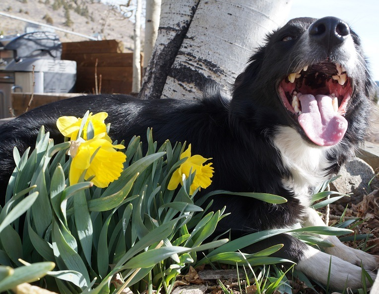 veterinary costs - border collie with daffodil flowers blooming