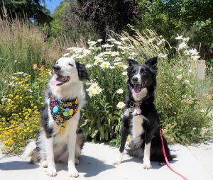 champion of my heart border collies in front of daisies