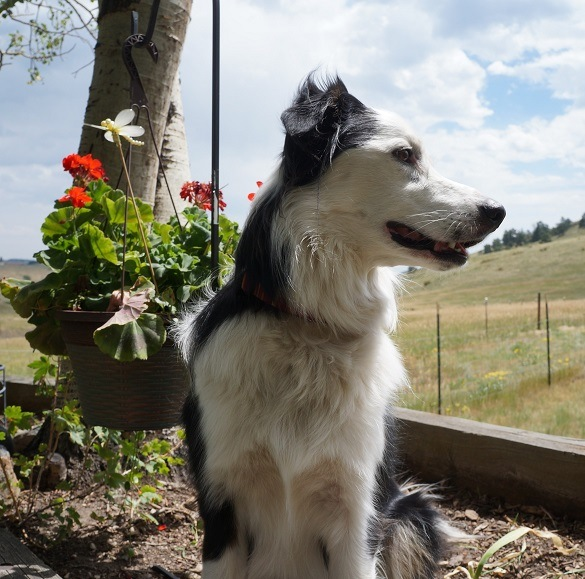 champion of my heart - border collie sitting in front of red flowers