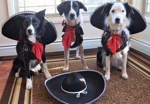 3 dogs dressed as 3 amigos - Champion of My Heart