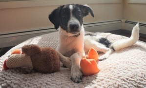 puppy with toy Champion of My Heart