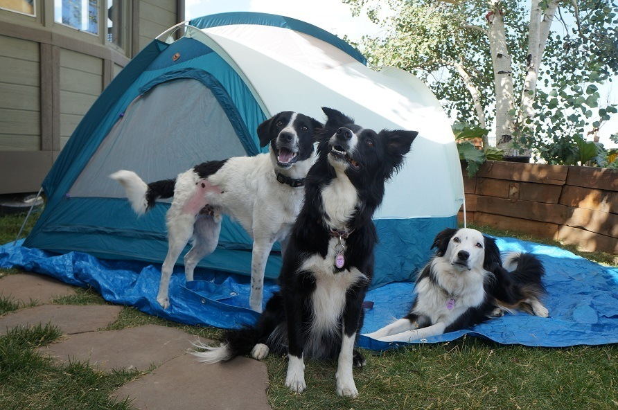 3 dogs in front of camping tent - Champion of My Heart