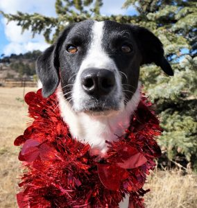black and white dog with red hearts garland around his neck - Mr. Stix Champion of My Heart