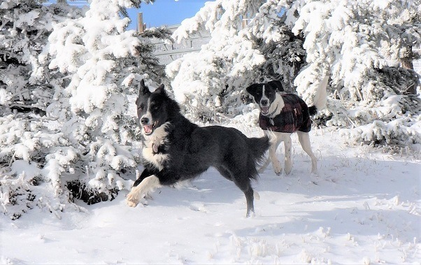 champion of my heart - dogs running in the snow