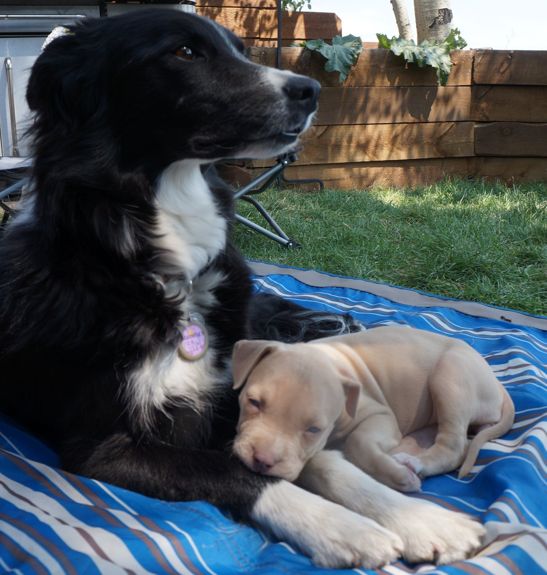 border collie and foster puppy